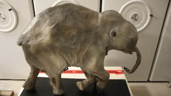В тюменском музее открылась выставка с мамонтёнком Любой