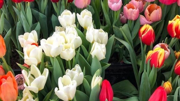 314 тюльпанов подарит посетительницам 8 Марта «Аптекарский огород»